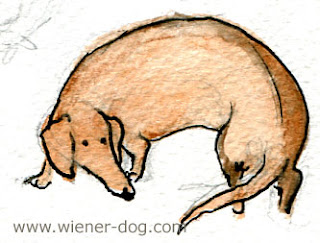 weiner dog contemplates its tail