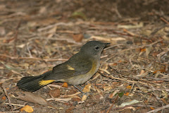 American Redstart (Setophaga ruticilla) (italics)