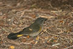 American Redstart (Setophaga ruticilla) (italics)