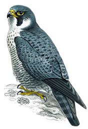 Birds - RSPB