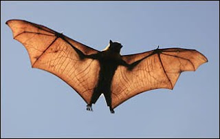 bat adaptations