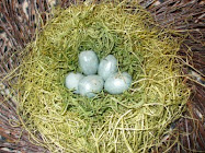 Faux Eggs in Nest