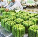 Square Watermelon Management