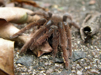 Singapore tarantula (Phlogiellus inermis)