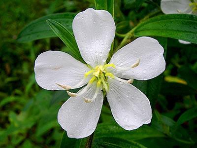 White melastoma, Singapore rhododendron