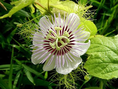 love-in-a-mist, Passiflora sp.