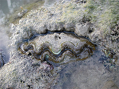 Giant clam, Tridacna crocea