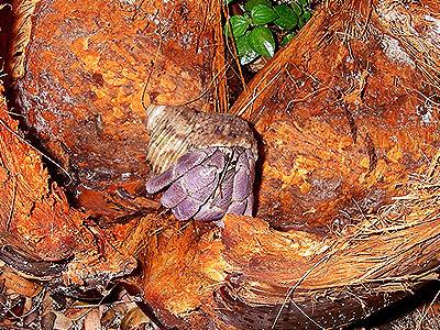 Land hermit crab, Coenobita rugosus