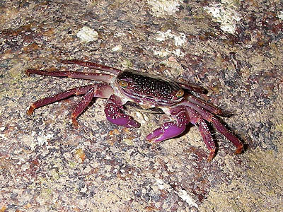 Purple climber crab, Metopograpsus sp.