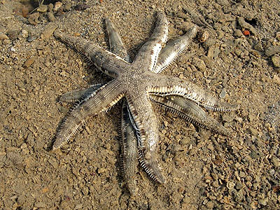 Common sea star, starfish, Archaster typicus