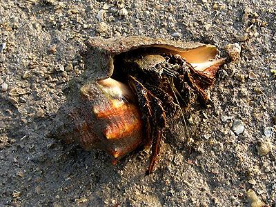 Striped hermit crab, Clibanarius infraspinatus