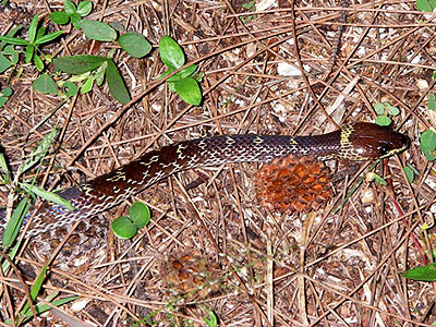 House snake, Lycodon capucinus