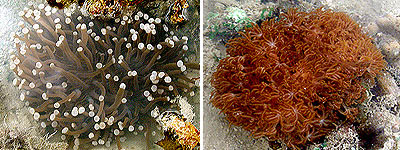 Sunflower mushroom coral, Heliofungia actiniformis