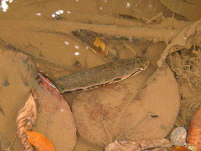 Forest snakehead (Channa lucius)