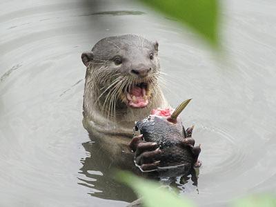 Smooth Otter (Lutrogale perpicillata)