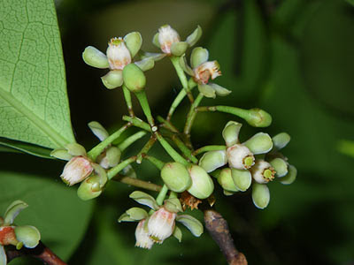 Mangrove cannonball trees (Xylocarpus granatum)
