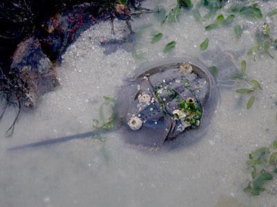 Mangrove Horseshoe Crabs (Carcinoscorpius rotundicauda)