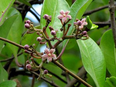 Kalak Kambing (Finlaysonia obovata) Flowers