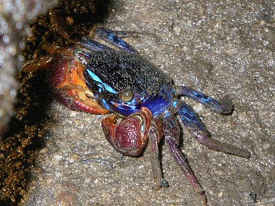 Iridescent Crab (Perisesarma indiarum)
