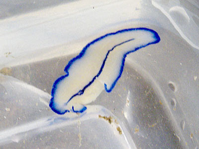 Flatworm (Pseudoceros sp.)