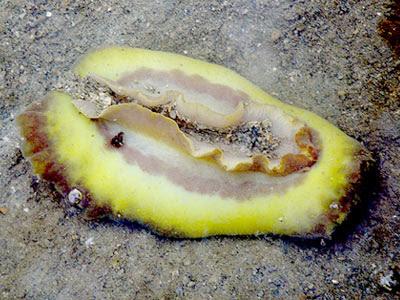 Dendrodoris sp.