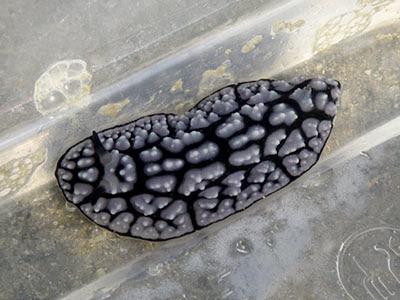 Pustulose phyllid nudibranch (Phyllidiella pustulosa)