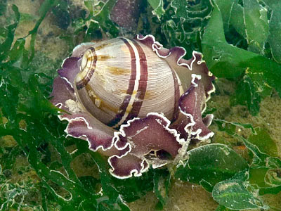 bubble shell, Hydatina sp.
