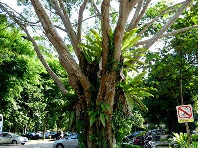 benjamin's fig, Ficus benjamina