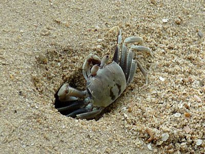ghost crab, Ocypode ceratophthalma