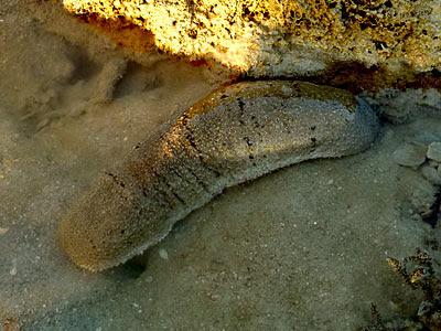 Holothuria scabra