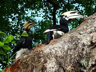 Oriental Pied-Hornbills, Anthracoceros albirostris