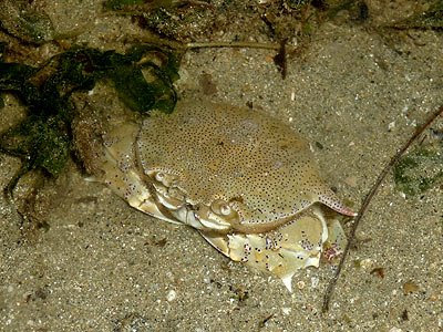 Moon crab, Ashtoret lunaris