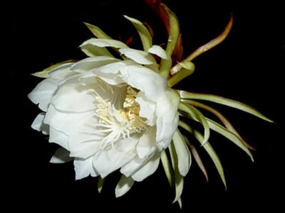 Queen of the Night, Epiphyllum oxypetalum