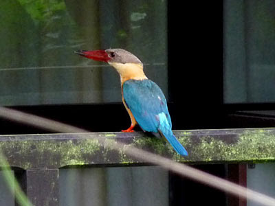 Stork-billed kingfisher (Halcyon capensis)