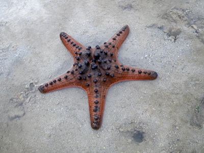 Knobbly sea star, Starfish, Protoreaster nodosus