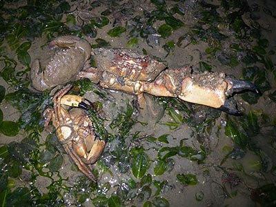 Thunder crabs, Myomenippe hardwicki