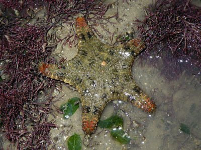 Starfish, Orange-tipped sea star, Gymnanthenea laevis