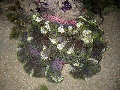 Gigantic carpet anemone, Stichodactyla gigantea