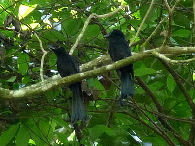 Greater racket-tailed drongo, Dicrurus paradiseus