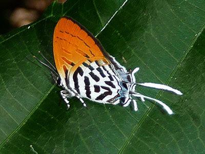 Common posy, Drupudia ravindra moorei