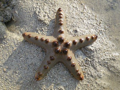 Starfish, Knobbly sea star (Protoreaster nodosus)
