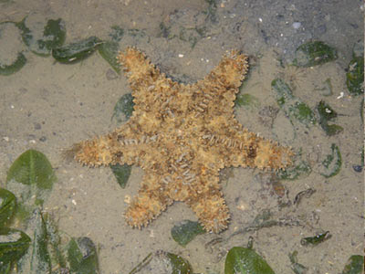 Starfish (Gymnanthenea laevis)