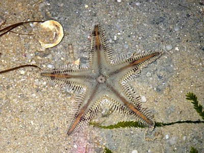 Starfish, Sand star (Astropecten sp.)