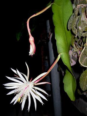Epiphyllum strictum
