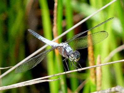 Dragonfly (Brachydiplax chalybea)