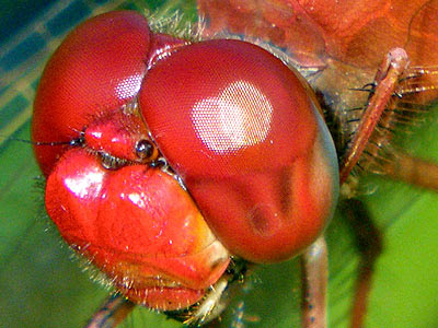 Dragonfly compound eyes and ommatidia