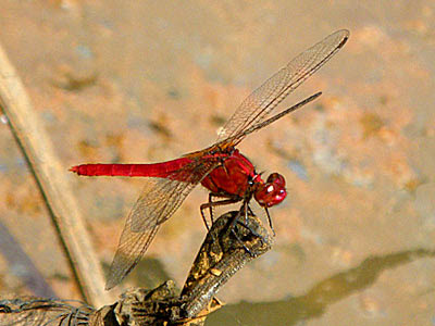 Dragonfly, Rhodothemis rufa