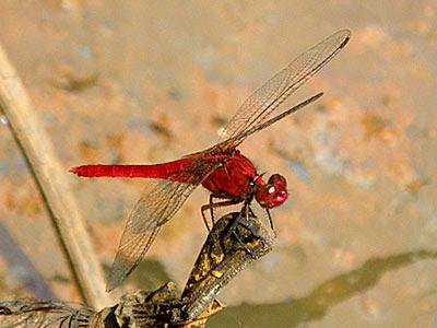 Dragonfly, Rhodothemis rufa
