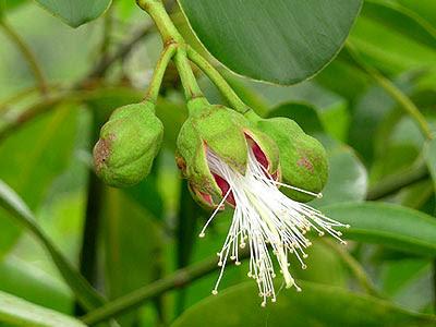 Sonneratia ovata flower