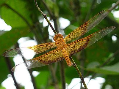 Dragonfly (Camacinia gigantea)